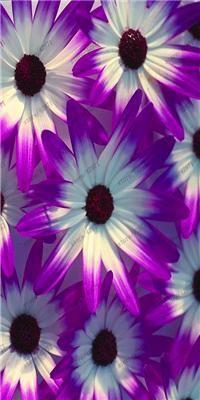 100 pcs/bag African chrysanthemum African rare Blue Eyed Daisy Seeds bonsai or pot flower seeds for home garden plant