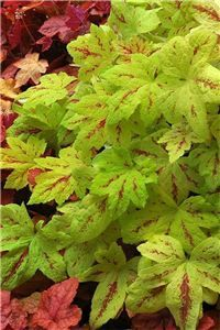 Heucherella 'Sunrise Falls': sunny new trailing and ground cover variety (click to enlarge)