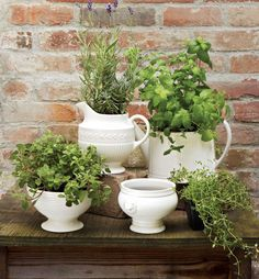 fresh herbs in white antique pitchers