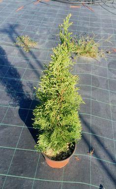 La Thuja Occidentalis Smaragd è un albero molto rustico, facile da coltivare, docile alle potature. Fogliame verde intenso.