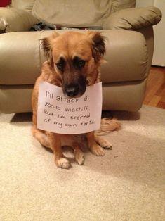 I'll attack a 200 lb. mastiff, but I'm scared of my own farts. #funnydogshaming #dogshaming #dogsfunnyfart