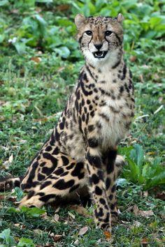 Nadeshiko, the female King Cheetah by Steve Tracy