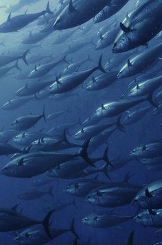 School of Tuna