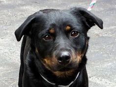 TO BE DESTROYED 1/7/14  Manhattan Center    My name is DENIM. My Animal ID # is A0988504.  I am a female black and brown black and germ shepherd mix. The shelter thinks I am about 1 YEAR 5 MONTHS old.   I came in the shelter as a OWNER SUR on 12/30/2013  SHE'S VERY PLAYFUL, SHE'S VERY PROTECTIVE. Lived in harmony with several dogs & kids!