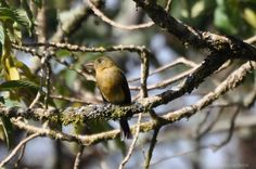 Ochraceous Pewee. Our RARE BIRD find in Panama! (Click to blog to read more about this.)