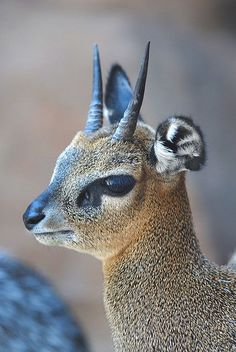 Kirk's dik-dik (Madoqua kirkii) is a small antelope found in eastern and southwestern Africa. It grows to 70 cm in length and weighs up to 7 kg, shoulder height about cm Interesting Animals, Unusual Animals, Strange Animals, Unusual Pets, Exotic Animals, Beautiful Creatures, Animals Beautiful, Animals Amazing, Animals With Horns
