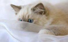 ragdoll-cat  kočka