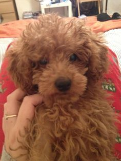 Looks like Biscuit, our new Toy Poodle