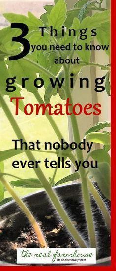 3 things you need to know about growing tomatoes that nobody ever tells you why haven't I heard of these things? So good to know for my tomatoes. 3 things you need to know about growing tomatoes that nobody ever tells you Growing Tomatoes In Containers, Growing Veggies, Growing Plants, Grow Tomatoes, Growing Onions, Tips For Growing Tomatoes, Growing Jalapenos, Patio Tomatoes, Greenhouse Tomatoes