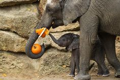 Pass the pumpkin please A baby elephant gets a share of a Halloween treat in a Vienna zoo.