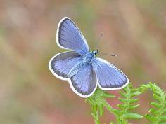 Small Blue Black Spot, Blue Butterfly, Brown And Grey, Conservation, Habitats, Silver, Elk, Butterflies, Twitter