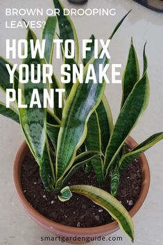 House Plants 465348573998832763 - If your snake plant has drooping or brown leaves, you need to read this article. There are a few common problems with snake plant care that are easily fixed and can restore your snake plant to health. Snake Plant Care, Zz Plant Care, Cactus Plante, Smart Garden, Inside Plants, House Plant Care, House Plants Decor, Spider Plants, Garden Guide