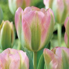 http://www.vanmeuwen.com/flowers/flower-bulbs/tulips/tulip-greenland/V56947VM