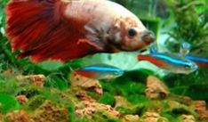 What Fish Can Live With Bettas? | Online Betta fish guides