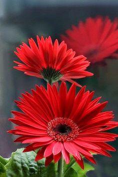Gerbera Daisy ჱ ܓ ჱ ᴀ ρᴇᴀcᴇғυʟ ρᴀʀᴀᴅısᴇ ჱ ܓ ჱ ✿⊱╮ ♡ ❊ ** Buona giornata ** ❊ ~ :heart:✿:heart: ♫ :hearts: X ღɱɧღ :heart: ~ Sat 07th Feb 2015