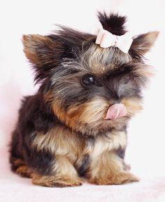 teacup yorkie :) my DREAMMMMM doggie. i want to name her minnie :)