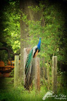 <3 Peacocks