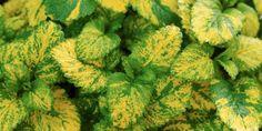 Brokigt – Gulbrokig citronmeliss, Melissa officinalis 'Aurea' samsas här med många andra kryddväxter på Rådhusgården. Den trivs i soligt läge i näringsrik och lucker jord som inte torkar ut men ändå är väldränerad. Höjd 40–60 cm. Räknas som halvhärdig. C/c-avstånd: 35 cm. Broccoli, Cauliflower, Herbs, Vegetables, Sun, Cauliflowers, Veggies, Herb, Vegetable Recipes