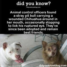 Animal control officers found a stray pit bull carrying a wounded Chihuahua around in her mouth, occasionally stopping to lick his ruptured eye. They've since been adopted and remain best friends....