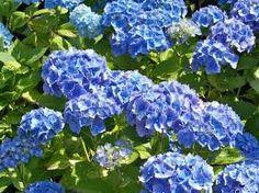 The blue hydrangea makes for a magnificent color in the garden - Garden Design Ideas Blue Hydrangea, Blue Flowers, Hydrangeas, Endless Summer Hydrangea, Happy Fathers Day, Shades Of Blue, Shrubs, Garden Design, Landscape