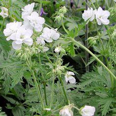 geranium pratense laura - Google-søk Geranium Pratense, Google, Plants, Geraniums, Plant, Planets