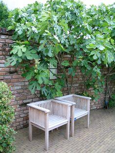 De Tuinen van Appeltern - Plantenencyclopedie - Ficus carica - Vijg