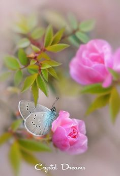 Have a wonderful day all! Butterfly Pictures, Butterfly Flowers, Beautiful Butterflies, Amazing Flowers, Pink Flowers, Beautiful Flowers, Pink Roses, Wonderful Day, Butterfly Wallpaper