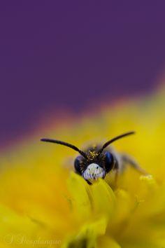 Little bumble bee ! /   Stéphane Desplanque