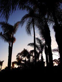 Palms at Sunset - Coronado Island