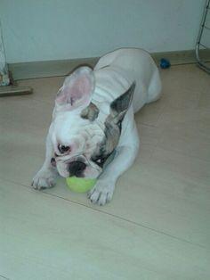 #BigJack #frenchbulldog
