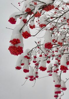 Snow covered red berry like seeds on tree.