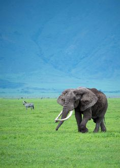 Elephant at Ngorongoro Crater in Tanzania. #Tanzania #Elephant #Africa