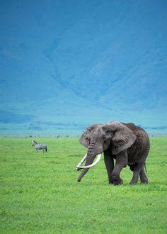 Elephant at Ngorongoro Crater in Tanzania. #Tanzania #Elephant #Africa