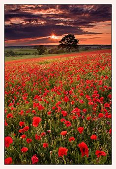 Poppy field in Badbury, Oxfordshire, England