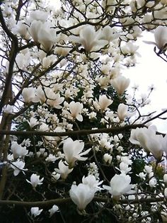 magnolia....most beautiful tree