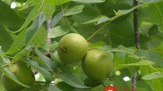 Tešíme sa na plody no tú najzdravšiu �asť ignorujeme: Pozrite sa lepšie, aký poklad máte nad hlavami!