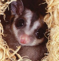 Sugarglider - Exotic Animal Rescue and Pet Sanctuary (EARPS)  has lots of exotic pets available for adoption