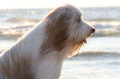 """Bearded collie Bincq ...fotomodel"" , foto H. Brand"