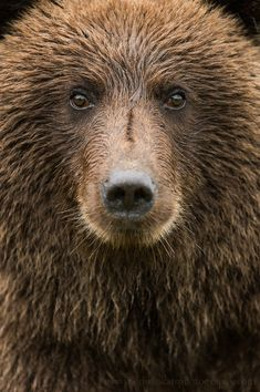 ~~Within the distance of comfort......... • Alaska Brown Bear, Cook Inlet, Alaska by Edwin Kats~~