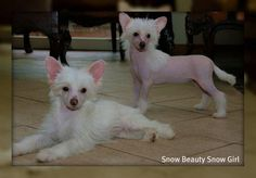 Chinese crested puppy's...