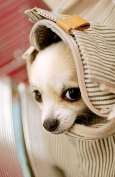 Effective Potty Training Chihuahua Consistency Is Key Ideas. Brilliant Potty Training Chihuahua Consistency Is Key Ideas. Cute Chihuahua, Teacup Chihuahua, Chihuahua Puppies, Cute Puppies, Cute Dogs, Dogs And Puppies, Doggies, Chihuahua Names, Adorable Babies