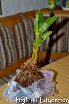 Growing a Coconut Tree