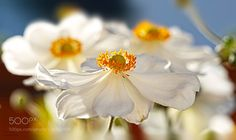 sweet anemone by Diana_Ruder. @go4fotos