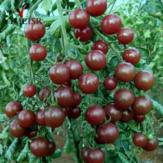50 Pcs/bag Black Cherry Tomatoes Seed Balcony Organic Fruits Seed Vegetables Potted Bonsai Plant Tomato Seeds for home garden