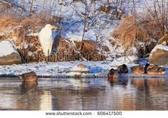 Stock Photo: Great Egret standing on the shore of frozen river in sunlight in the winter. -