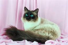 Image result for fluffy siamese cats