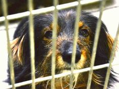 Pictures of a Dachshund for adoption in Phoenix, AZ who needs a loving home.