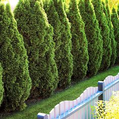 Pyramidalis arborvitae. Evergreen, available in tree and shrub varieties. Full sun. This is one plant that prefers clay soil. Prune in the early winter or late fall. If pruning is done in the summer, the tips of the plant will turn brown.