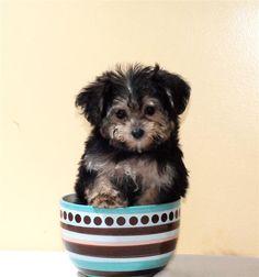 Teacup+Yorkie+Poo | Teacup Reuben is our Yorkie Poo Male - Yorkie Poo Puppy - Affordable ...