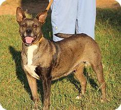 Portsmouth, NH - Cattle Dog Mix. Meet Louisiana, a dog for adoption. http://www.adoptapet.com/pet/11613757-portsmouth-new-hampshire-cattle-dog-mix